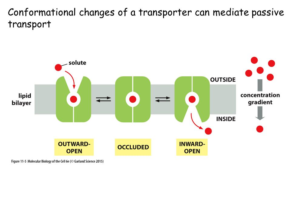 Conformational changes of a transporter can mediate passive transport