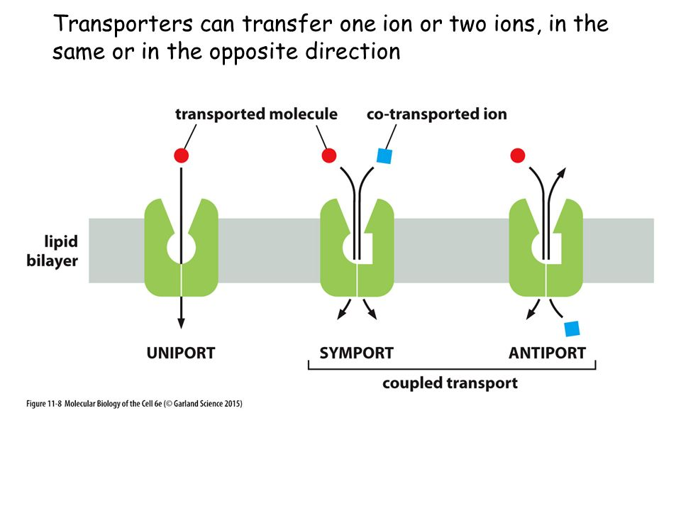 Transporters can transfer one ion or two ions, in the same or in the opposite direction