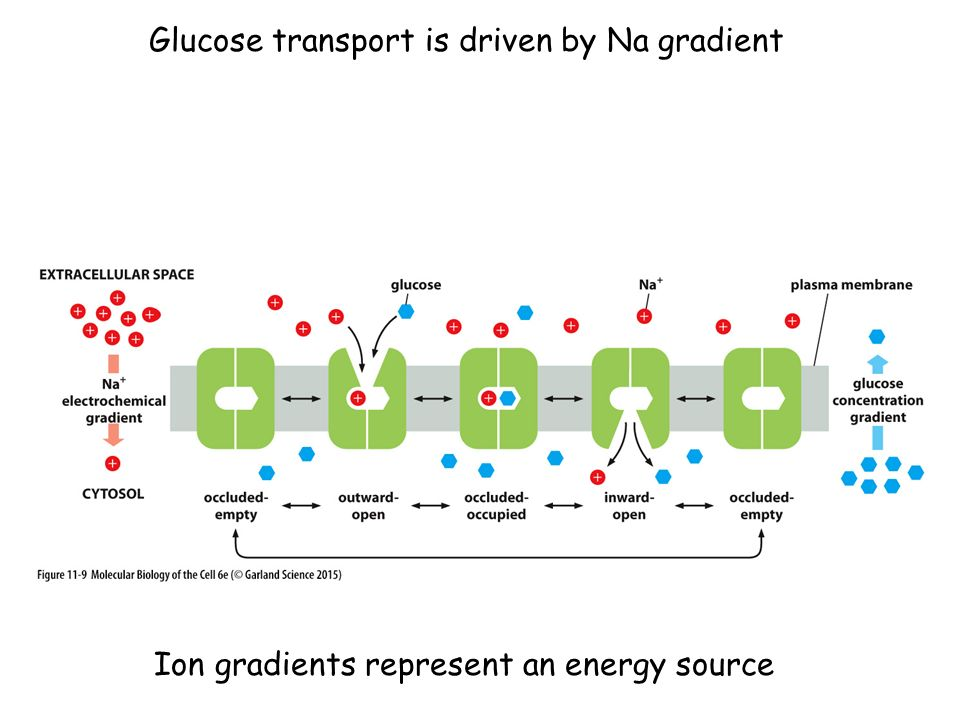 Glucose transport is driven by Na gradient