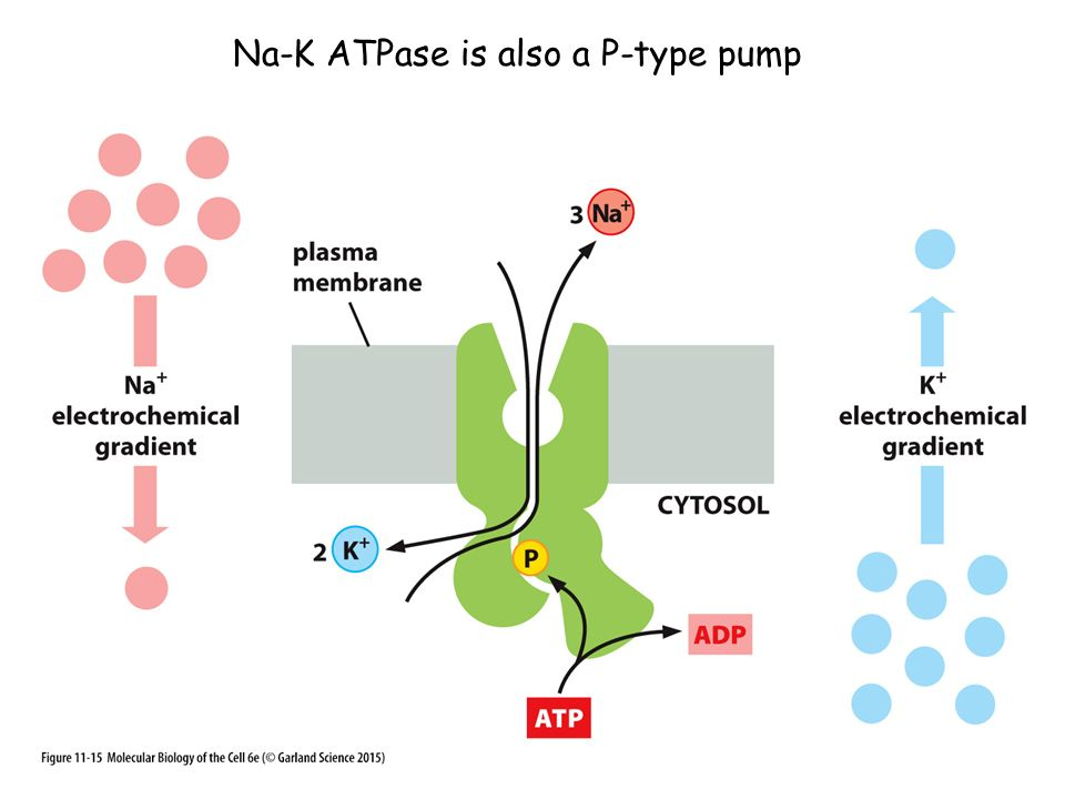 Na-K ATPase is also a P-type pump