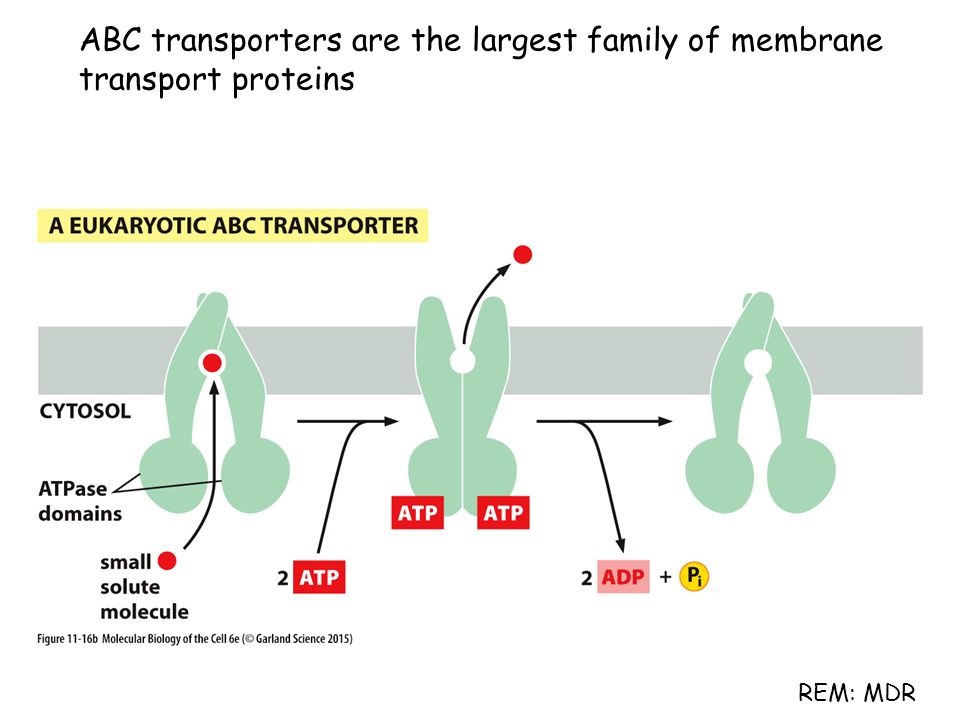 ABC transporters are the largest family of membrane transport proteins