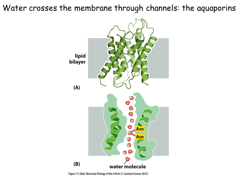 Water crosses the membrane through channels: the aquaporins