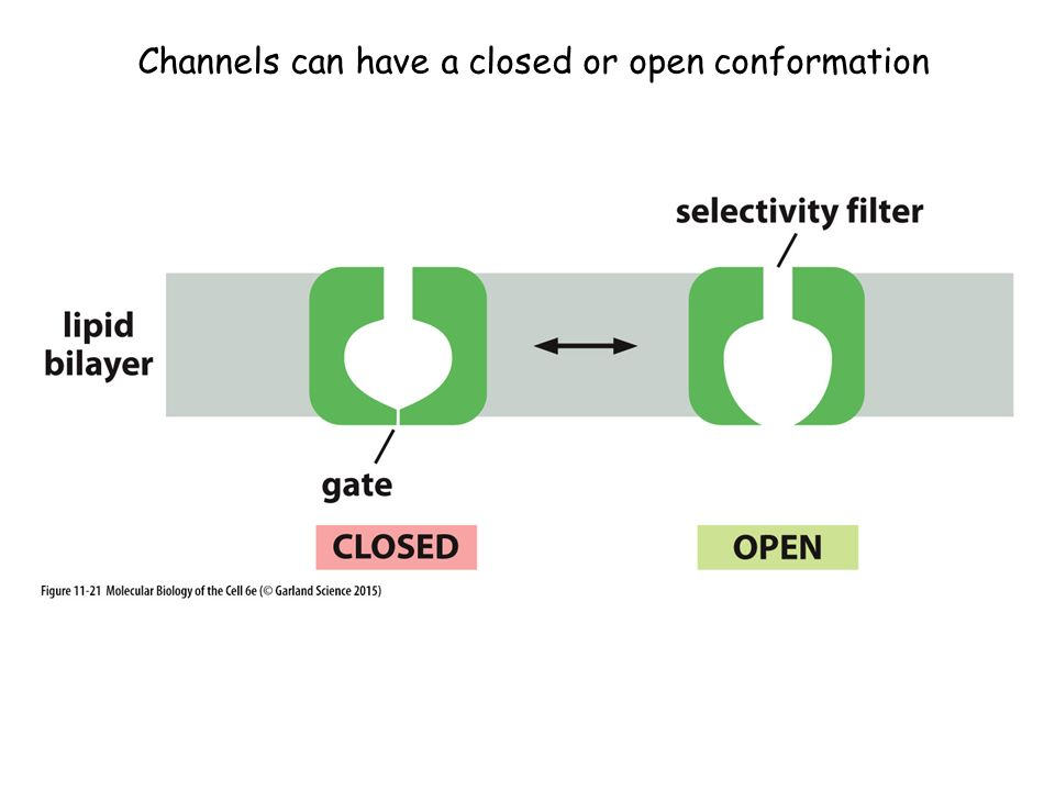 Channels can have a closed or open conformation