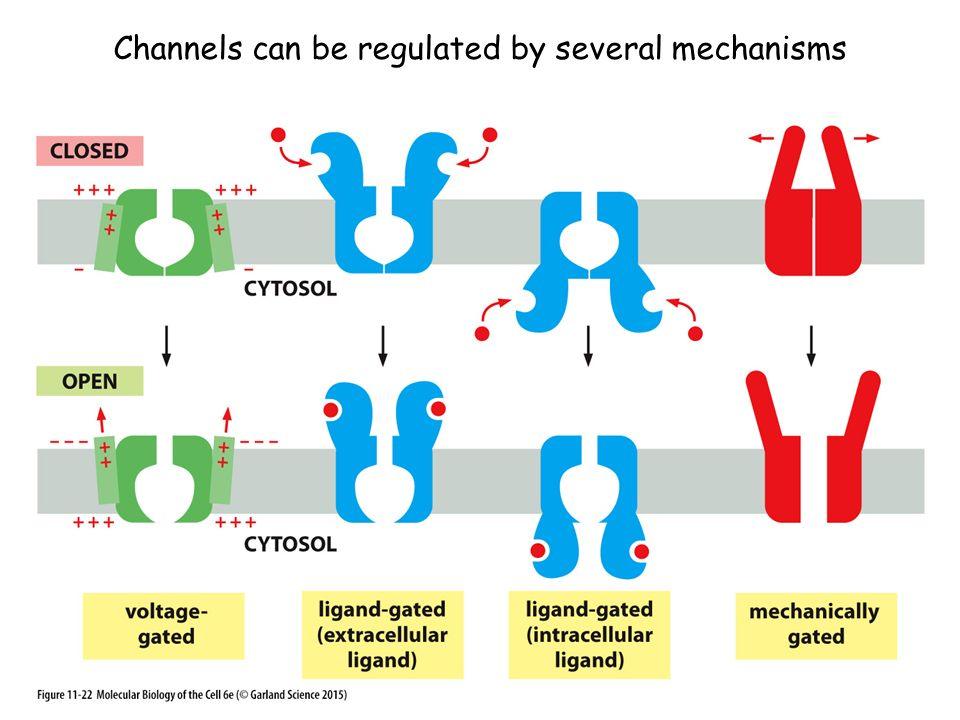 Channels can be regulated by several mechanisms