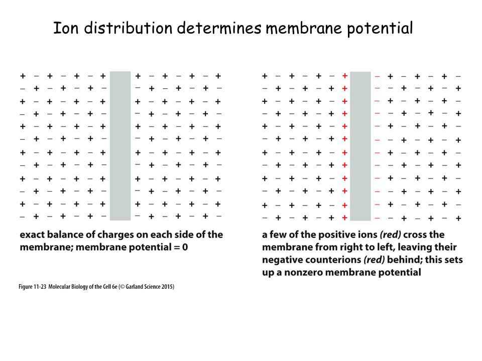 Ion distribution determines membrane potential