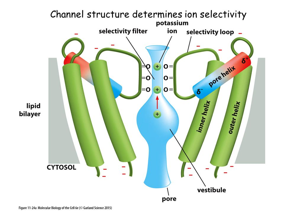 Channel structure determines ion selectivity