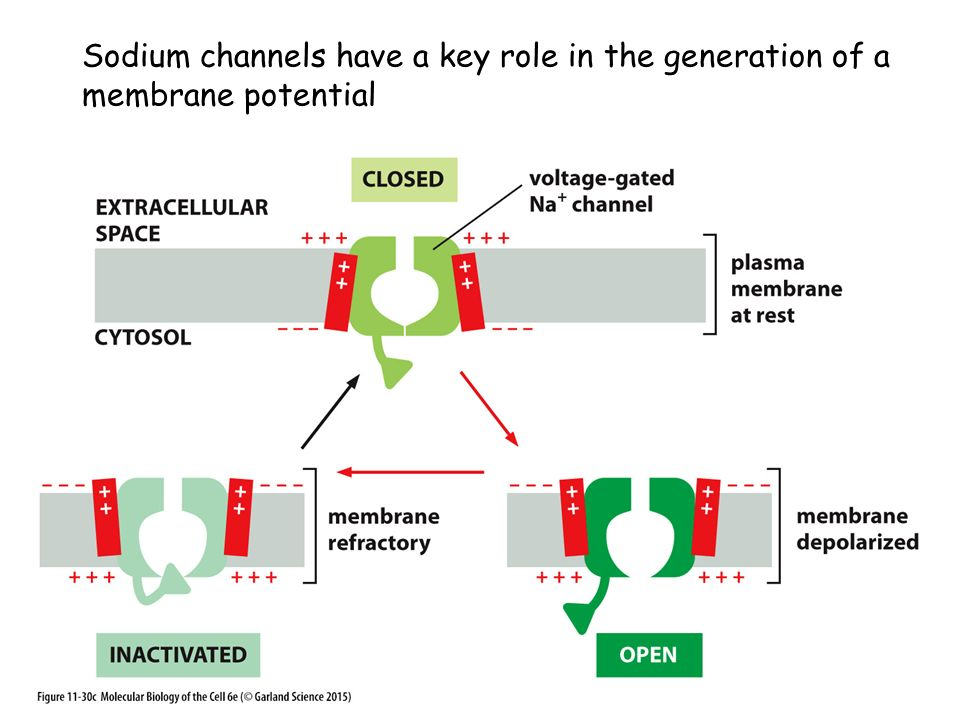 Sodium channels have a key role in the generation of a membrane potential
