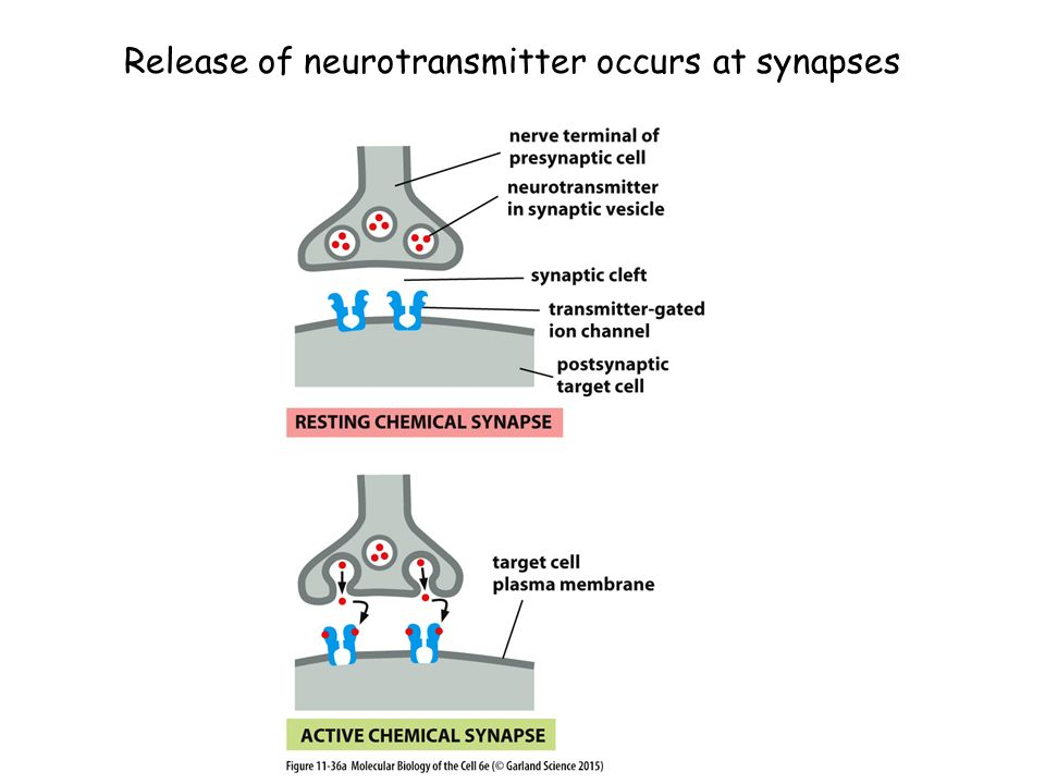 Release of neurotransmitter occurs at synapses