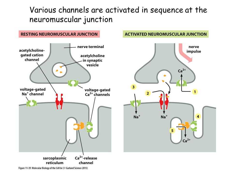 Various channels are activated in sequence at the neuromuscular junction
