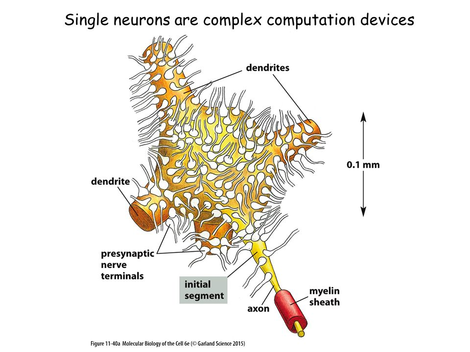 Single neurons are complex computation devices