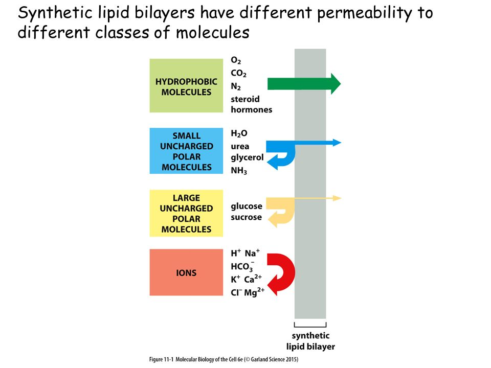 Synthetic lipid bilayers have different permeability to different classes of molecules
