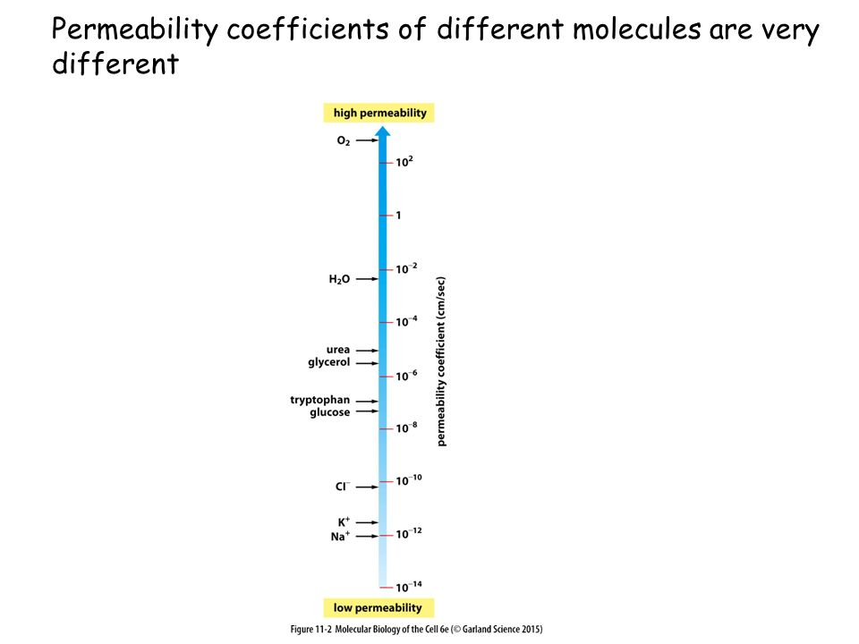 Permeability coefficients of different molecules are very different