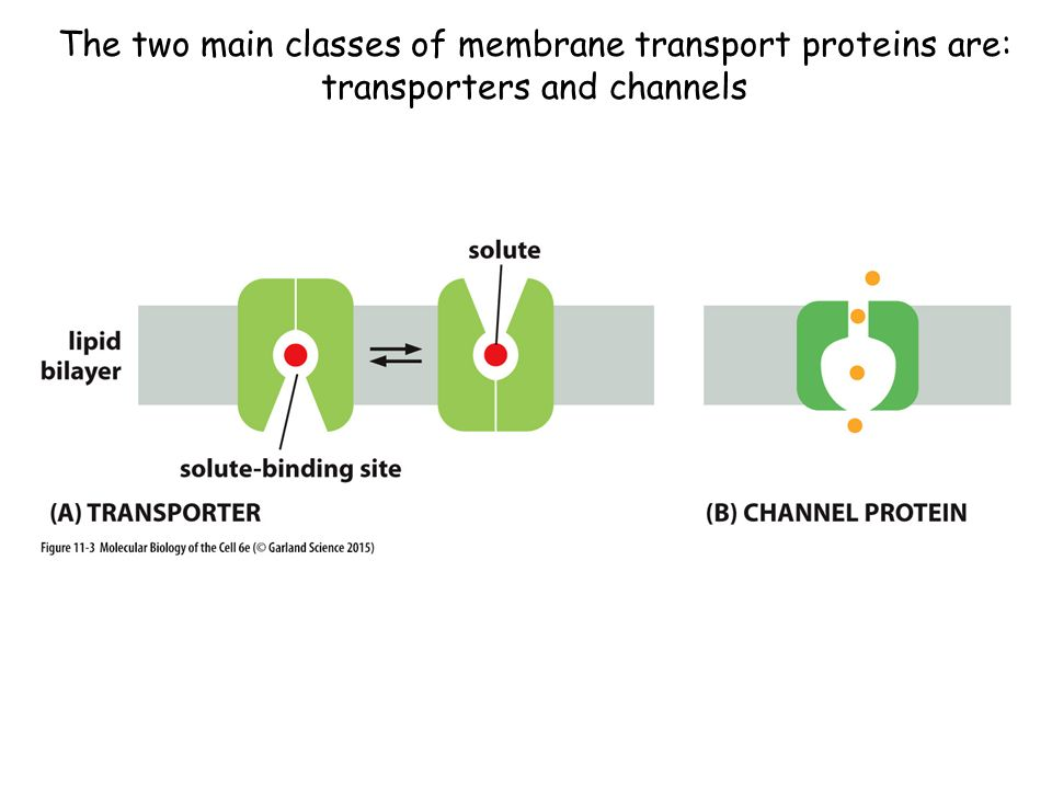 The two main classes of membrane transport proteins are: transporters and channels