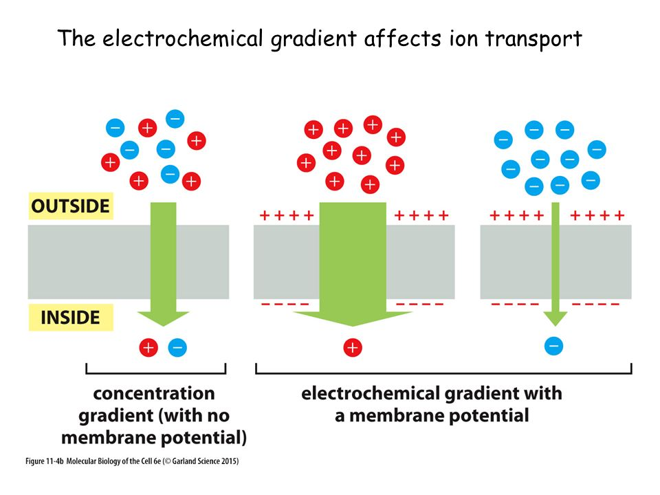 The electrochemical gradient affects ion transport