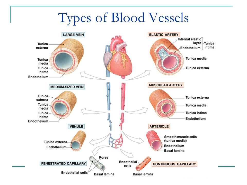 Types Blood Vessels Diagram Search For Wiring Diagrams