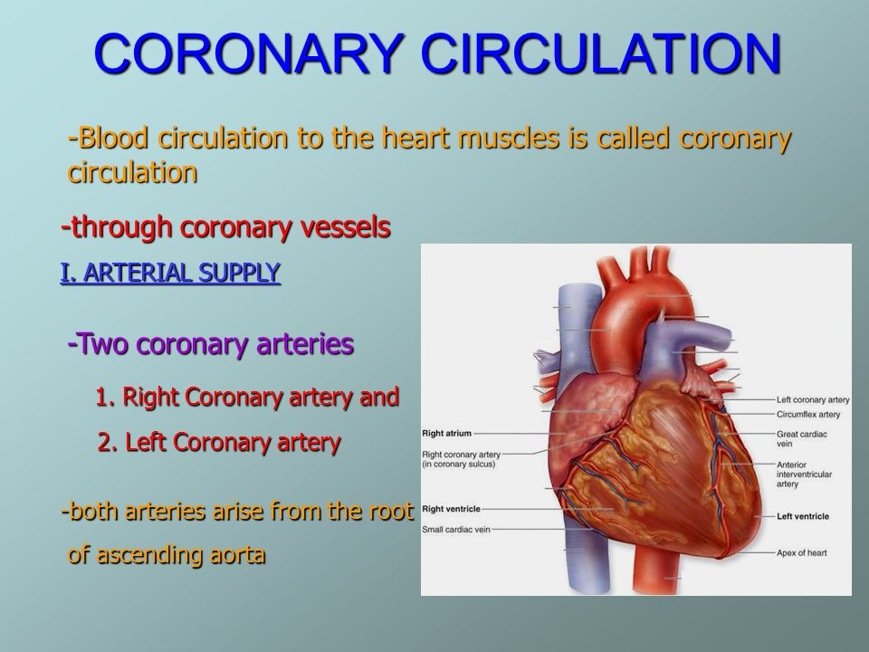 Blood Supply Of Heart Anatomy Ppt Images - human body anatomy