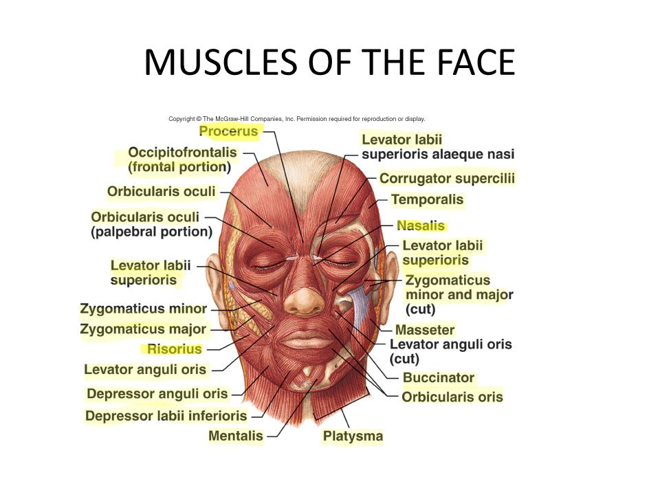 Muscles Of Arm Head Face And Neck Ppt Video Online Download