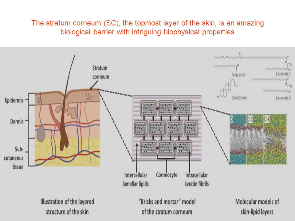 The stratum corneum (SC), the topmost layer of the skin, is an amazing biological barrier with intriguing biophysical properties