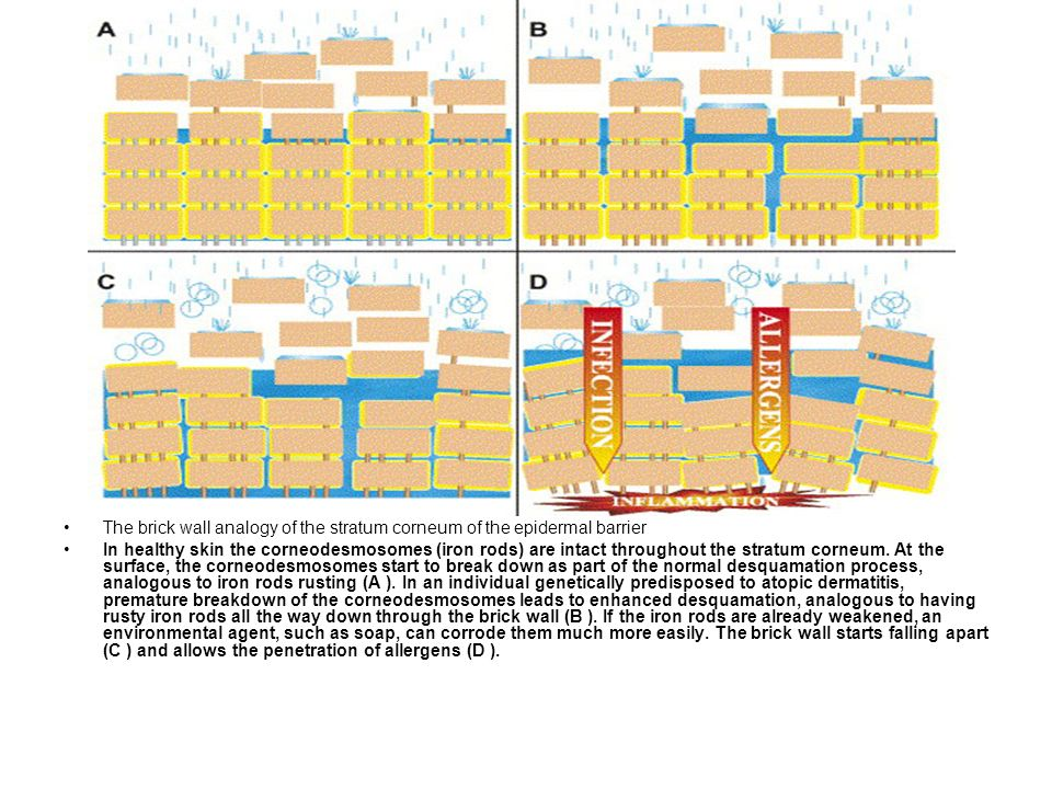 The brick wall analogy of the stratum corneum of the epidermal barrier