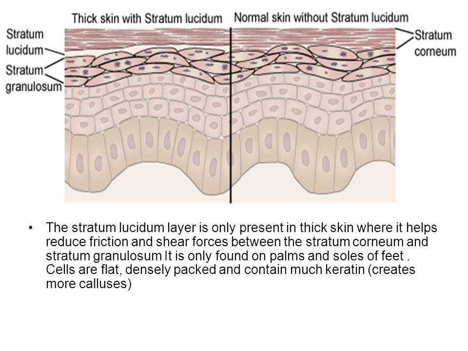 The stratum lucidum layer is only present in thick skin where it helps reduce friction and shear forces between the stratum corneum and stratum granulosum It is only found on palms and soles of feet .