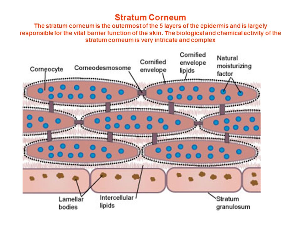 Stratum Corneum The stratum corneum is the outermost of the 5 layers of the epidermis and is largely responsible for the vital barrier function of the skin.