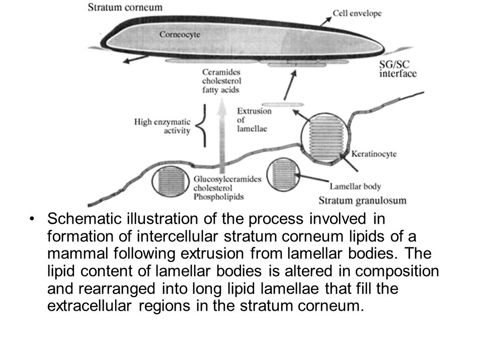 Schematic illustration of the process involved in formation of intercellular stratum corneum lipids of a mammal following extrusion from lamellar bodies.