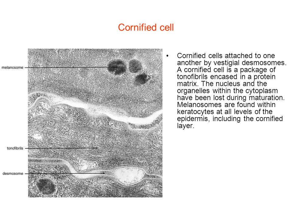 Cornified cell