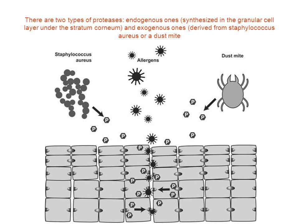 There are two types of proteases: endogenous ones (synthesized in the granular cell layer under the stratum corneum) and exogenous ones (derived from staphylococcus aureus or a dust mite