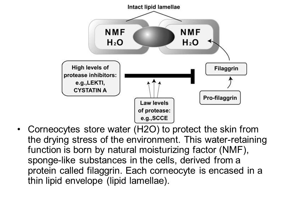 Corneocytes store water (H2O) to protect the skin from the drying stress of the environment.