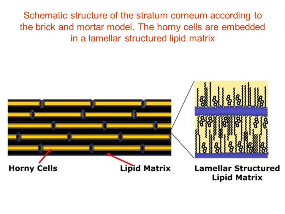 Schematic structure of the stratum corneum according to the brick and mortar model.