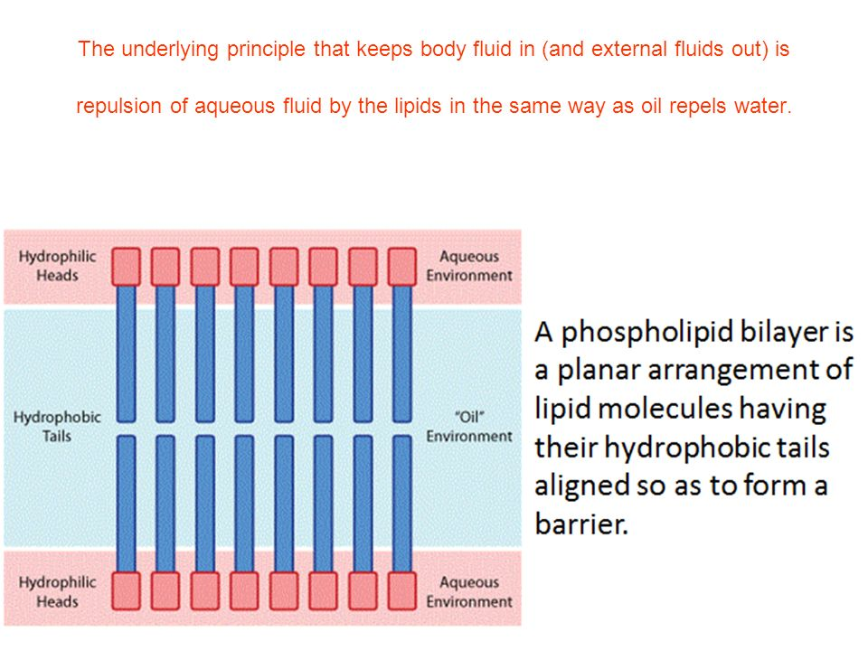 The underlying principle that keeps body fluid in (and external fluids out) is repulsion of aqueous fluid by the lipids in the same way as oil repels water.