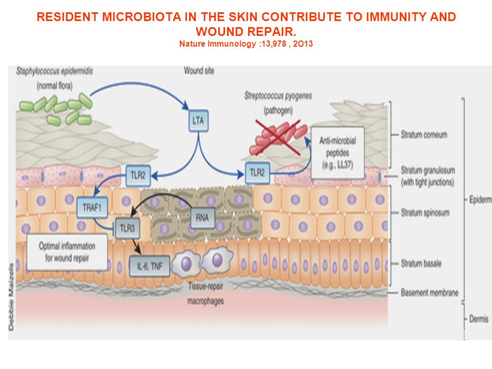 RESIDENT MICROBIOTA IN THE SKIN CONTRIBUTE TO IMMUNITY AND WOUND REPAIR.