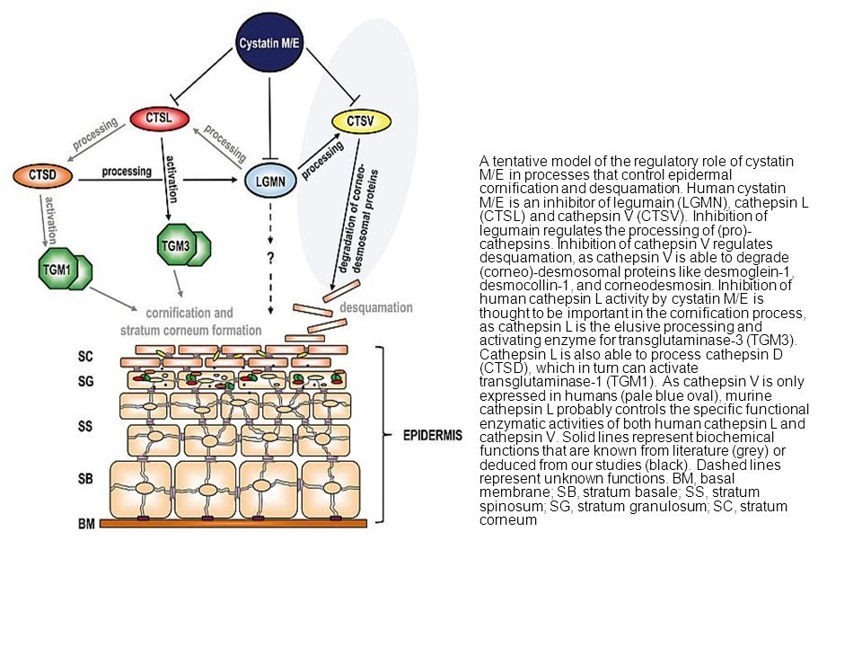 A tentative model of the regulatory role of cystatin M/E in processes that control epidermal cornification and desquamation.