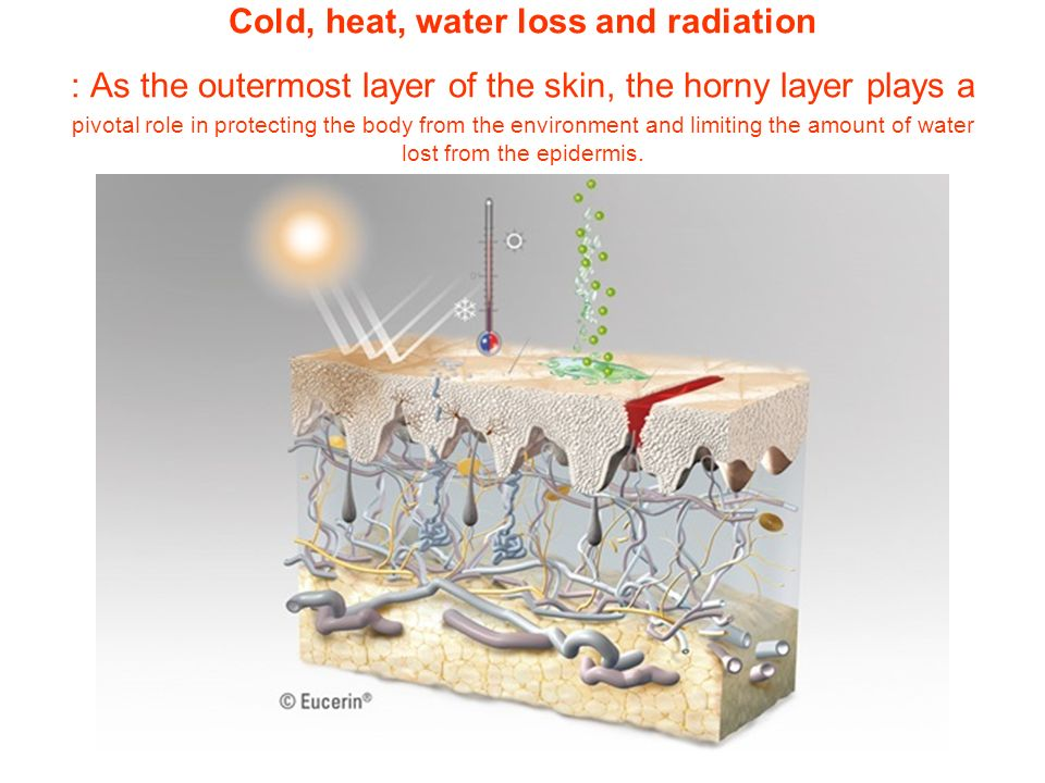 Cold, heat, water loss and radiation : As the outermost layer of the skin, the horny layer plays a pivotal role in protecting the body from the environment and limiting the amount of water lost from the epidermis.