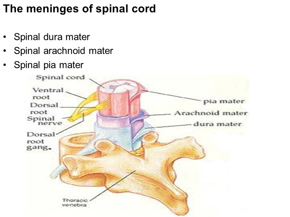 meninges and spinal cord The dura mater is a strong fibrous membrane that surrounds the brain and is continuous with the dura that covers the spinal cord meningitis is an infection of the meninges caused by viruses or bacteria.