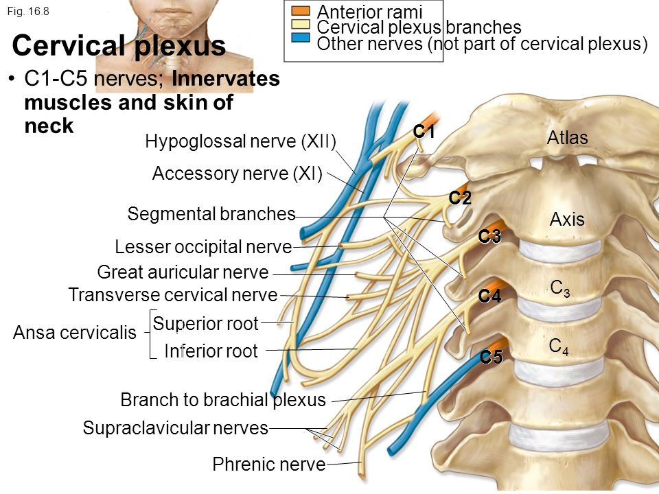 Chapter 16 Spinal Cord and Spinal Nerves - ppt video online download