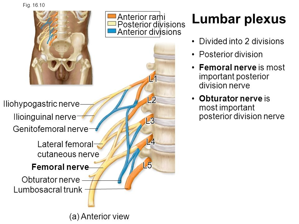 Chapter 16 Spinal Cord And Spinal Nerves Ppt Video Online Download