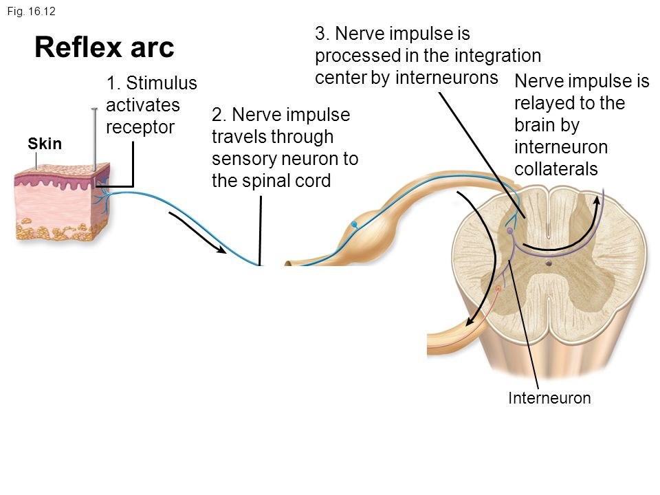 neurophysiology of nerve impulses 2 essay Below is an essay on neurophysiology from anti essays, your source for research papers, essays, and term paper examples aim: the aim of this virtual lab was to explore the nervous system of a leech and the nerve cells that are responsible for collecting touch information from the.