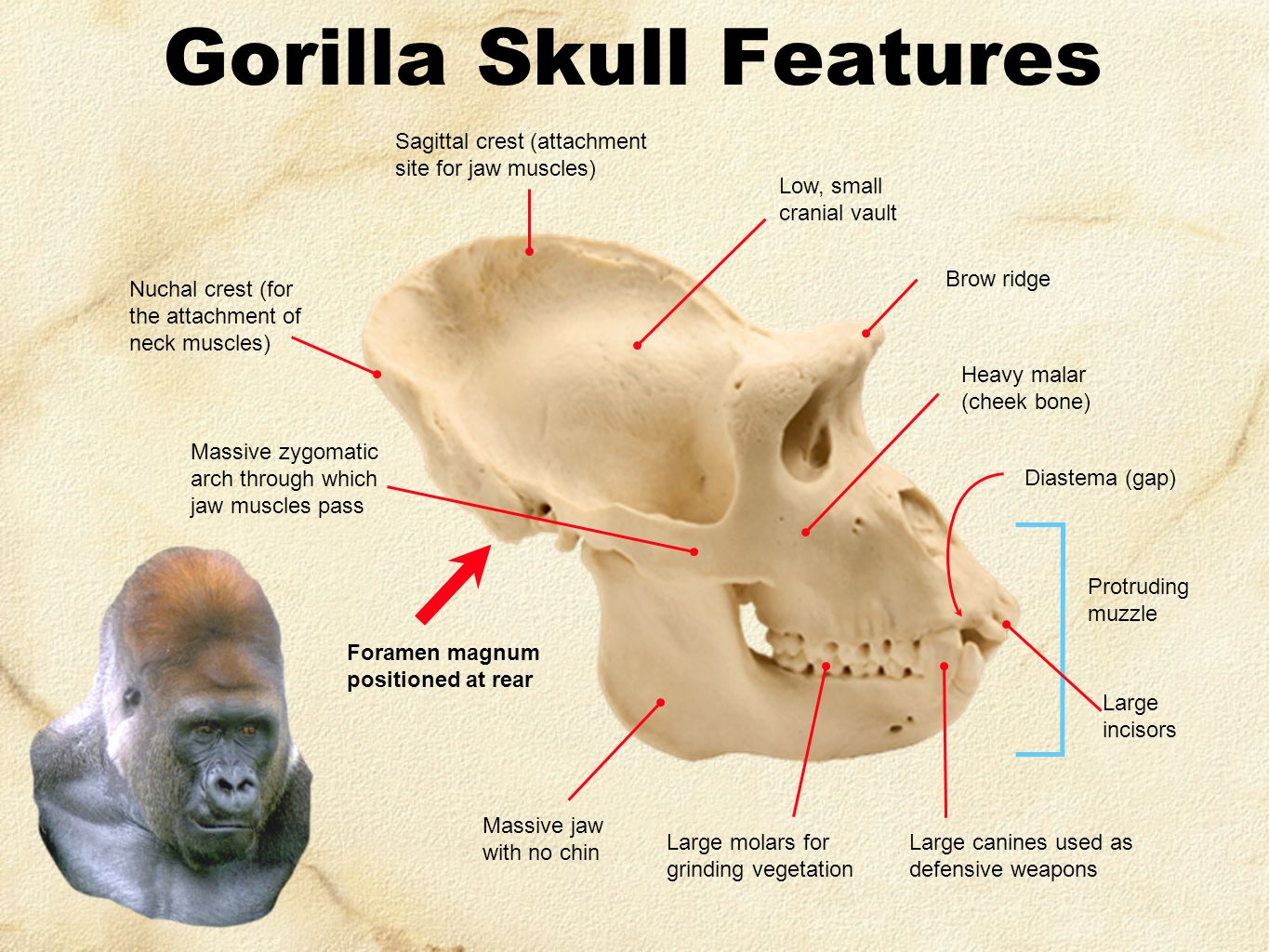 Gorilla Skull Labeled Diagram Wiring Diagram Electricity Basics