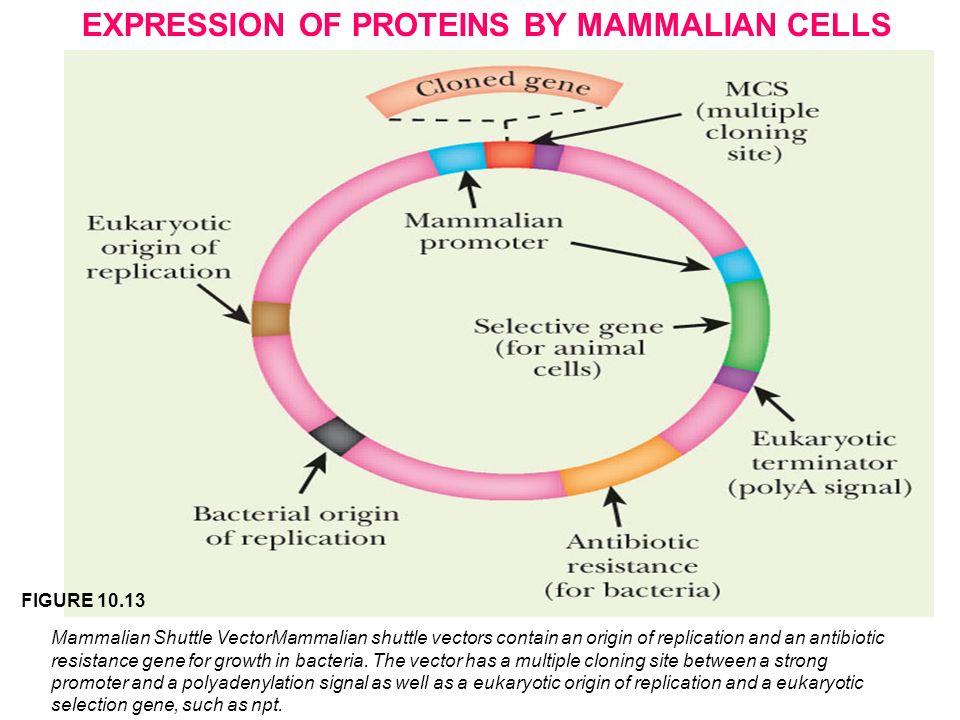 Mammalian expression vectors ppt
