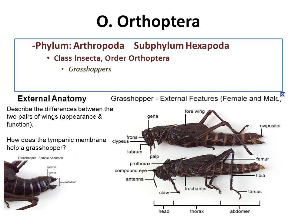 LABORATORIO Phylum Arthropoda Subphylum Hexapoda - ppt download