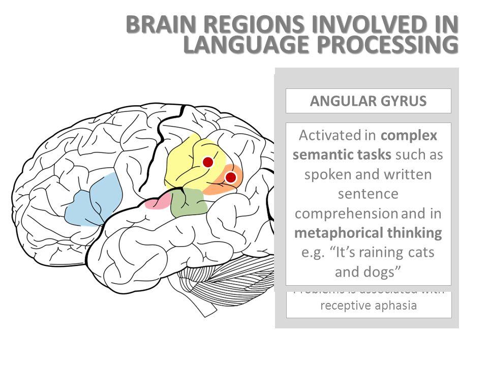 the brain  speech and language dr pedro amarante andrade