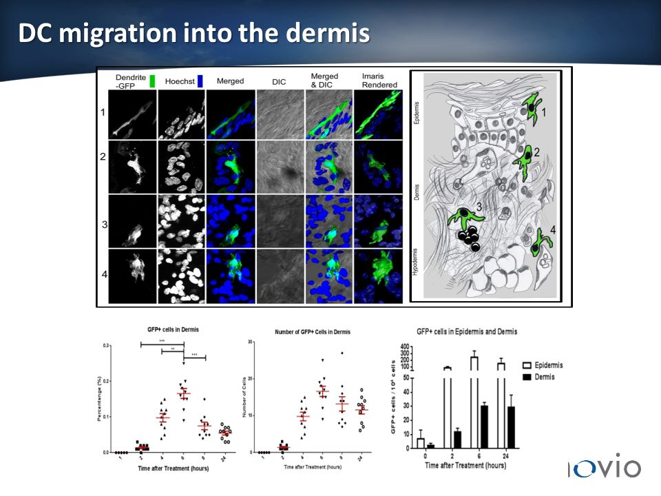DC migration into the dermis