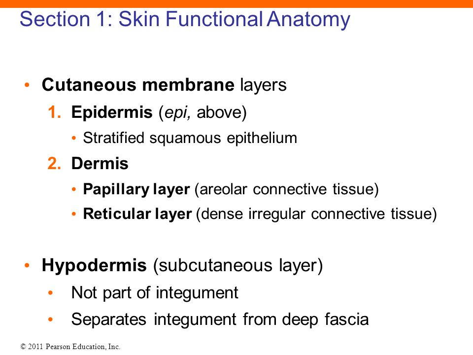 5 The Integumentary System. - ppt download