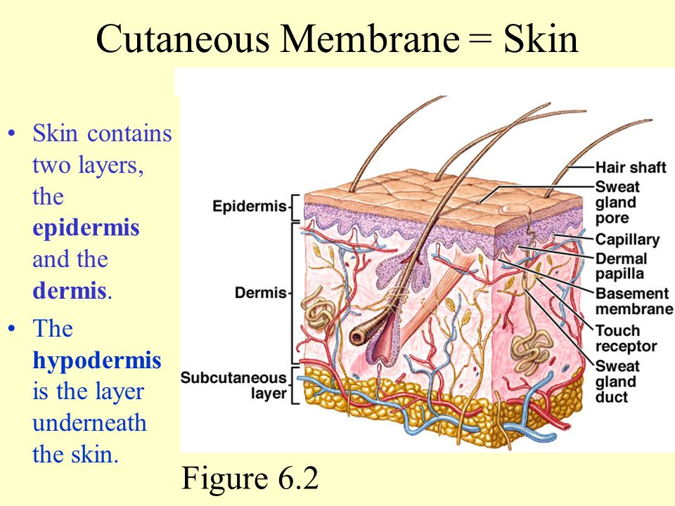 Skin And The Integumentary System Ppt Video Online Download