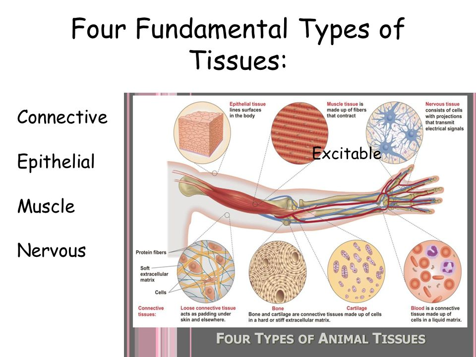 four main types of tissue A tissue is a group of cells, in close proximity, organized to perform one or more specific functions there are four basic tissue types defined by their morphology and function: epithelial tissue, connective tissue, muscle tissue, and nervous tissue.
