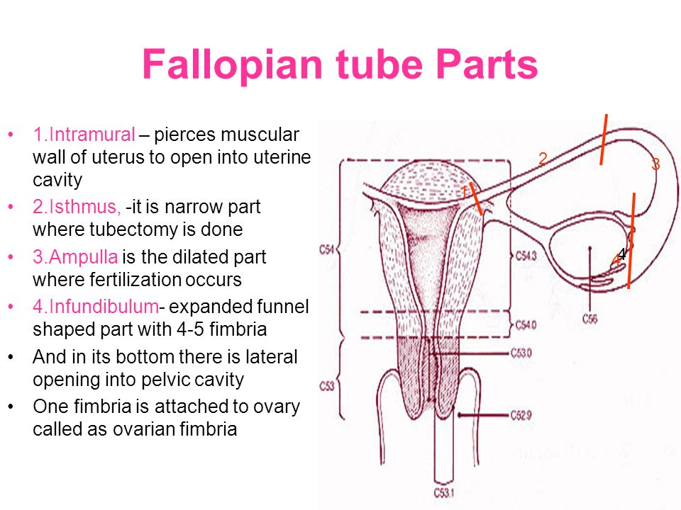 Magnificent Parts Of Fallopian Tube Anatomy Images - Anatomy And ...