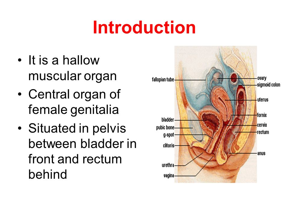 Gross anatomy of female internal genitalia - ppt video online download