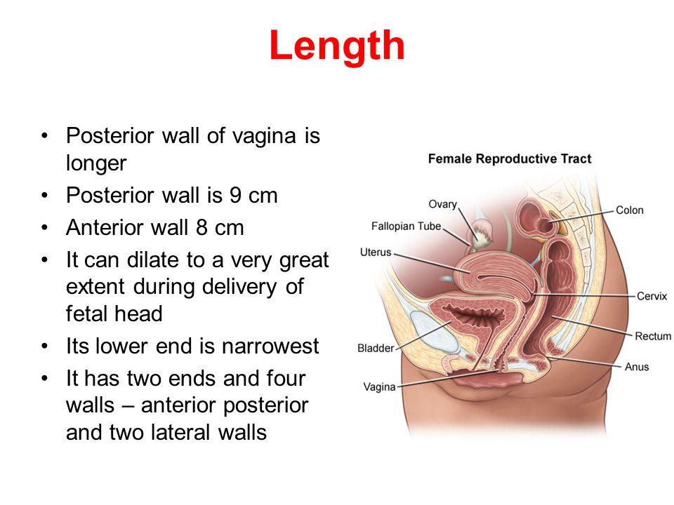 Exelent Anatomy Of Vegina Adornment - Anatomy And Physiology Biology ...