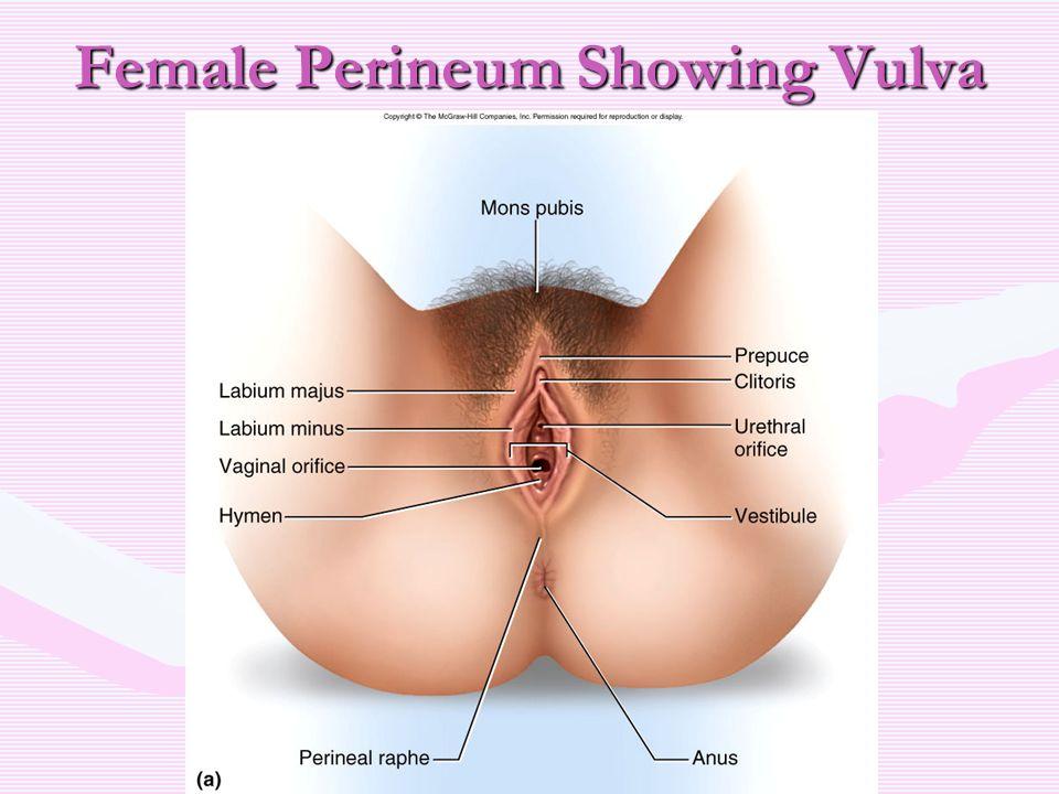Perineum Porn